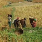 Harvest season at the farm on the Annapurna Base Camp Trek in Nepal