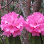 Rhododendrons - Spring is here