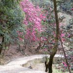 Rhododendrons in spring on the path to Tungnath