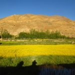 Mustard fields at Hemisshukpachen on Ladakh-Bike,Hike,Raft trip by Adventure Sindbad