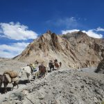Horse Caravan on the Markha Valley Trek in Ladakh by Adventure Sindbad
