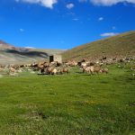 Lush green grass at Nimaling on the Markha Valley Trek in Ladakh by Adventure Sindbad