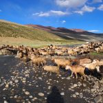 Herds of Goat and Sheep at Nimaling on the Markha Valley Trek in Ladakh by Adventure Sindbad