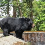 The big black bear at the HMI Zoo in Darjeeling