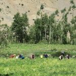 Locals working in the fields at Sanglung on the way to Demul on Spiti Village Walks trip by Adventure Sindbad
