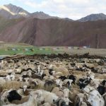 Goat and sheep enclosure at Gangpoche on Stok Kangri Climb in Ladakh by Adventure Sindbad