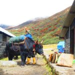 A dzo being loaded at Thansing on the Dzongri Goechala trek in Sikkim by Adventure Sindbad