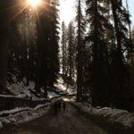 Pine-Trees-Sethan-Village-Manali-Adventure-Sindbad