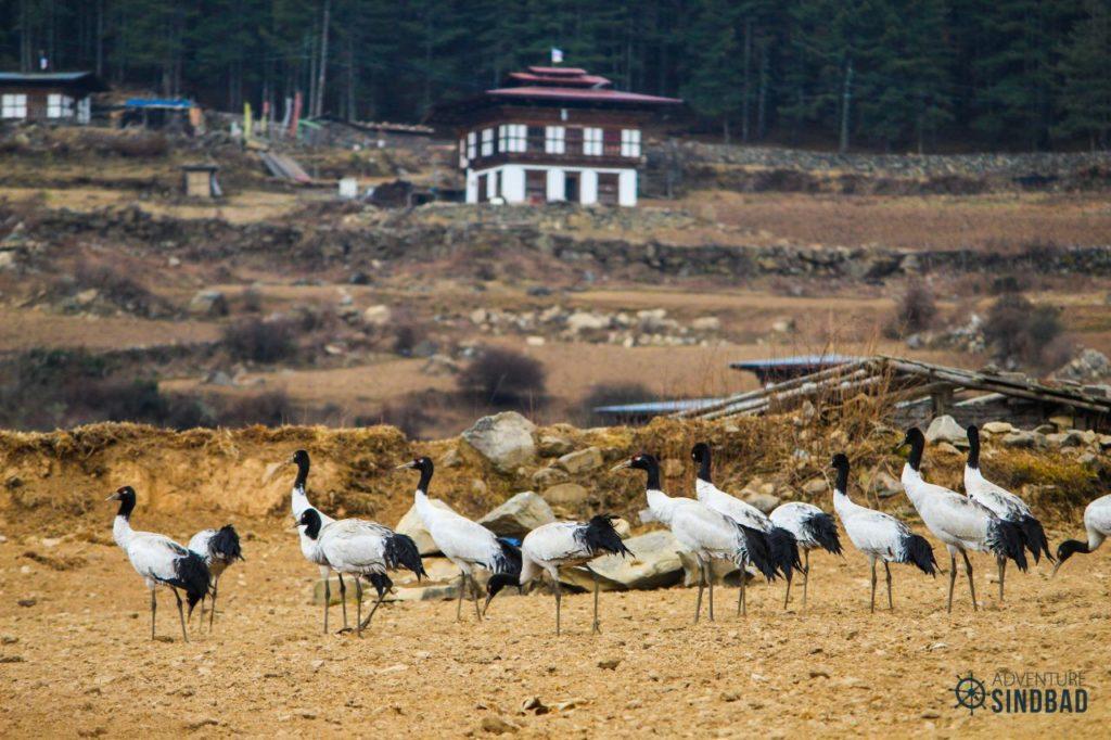 Black-necked-Crane-phobjhika-valley-Bhutan-Himalaya-Adventure-Sindbad-Vishwas-Raj-05
