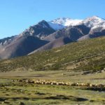 Sheep-Goats-flocks-at-Nimaling-Markha-Valley-Adventure-Sindbad