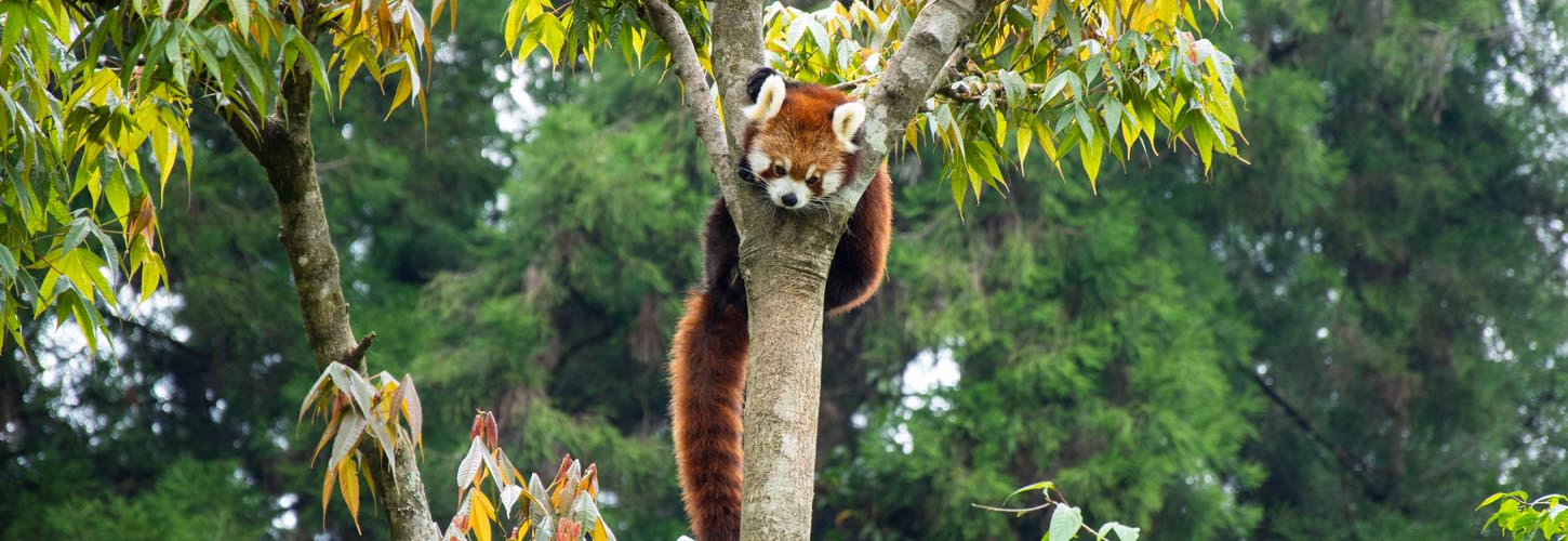 red-panda-sikkim